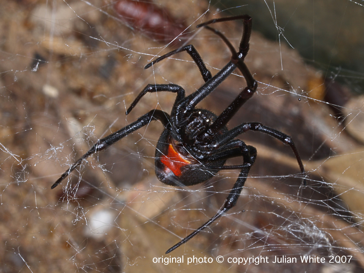 Red back spider size